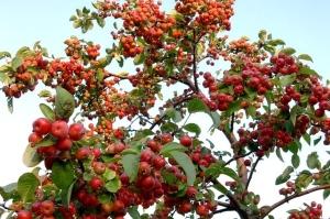 arbre fruitier Malus-Evereste
